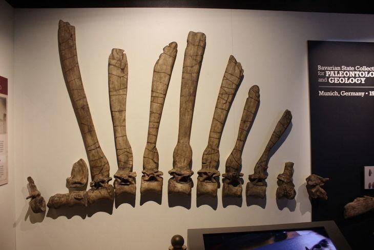 Vela del spinosaurus