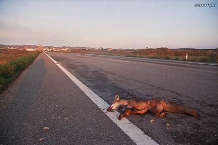 Zorro atropellado en Alcubierre. Imagen: Brookei Blog