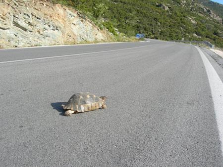 Tortuga en autopista