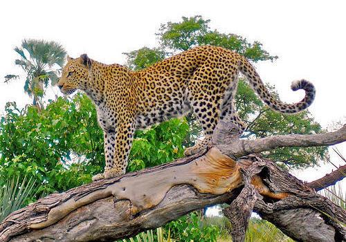 Leopardo al acecho