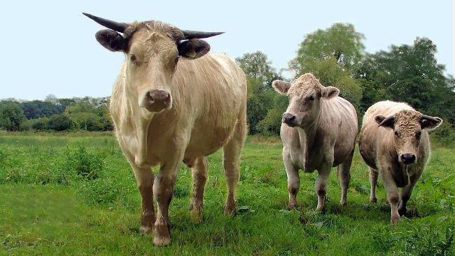 Vacas en la carretera