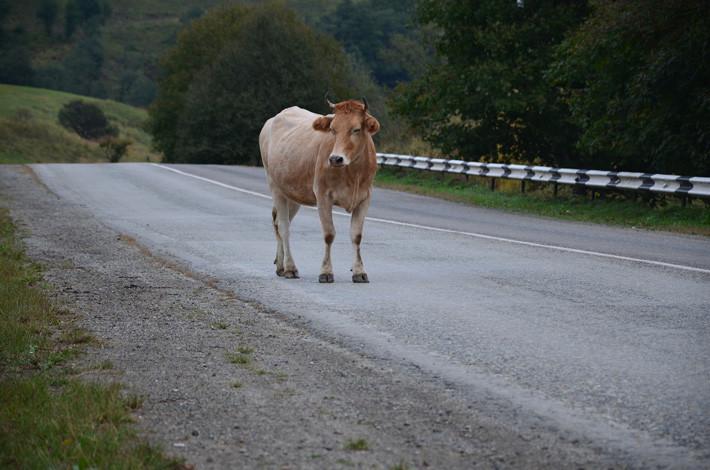 esquivar un obstáculo vaca