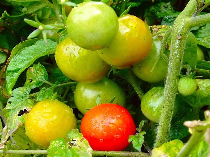 tomatse