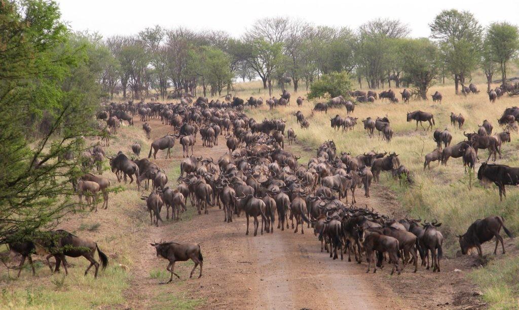 Serengueti Wildbeest / Mongabay