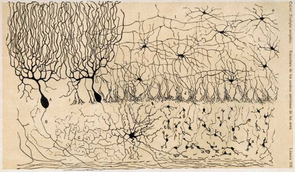 Cajal Cerebellum cerebro