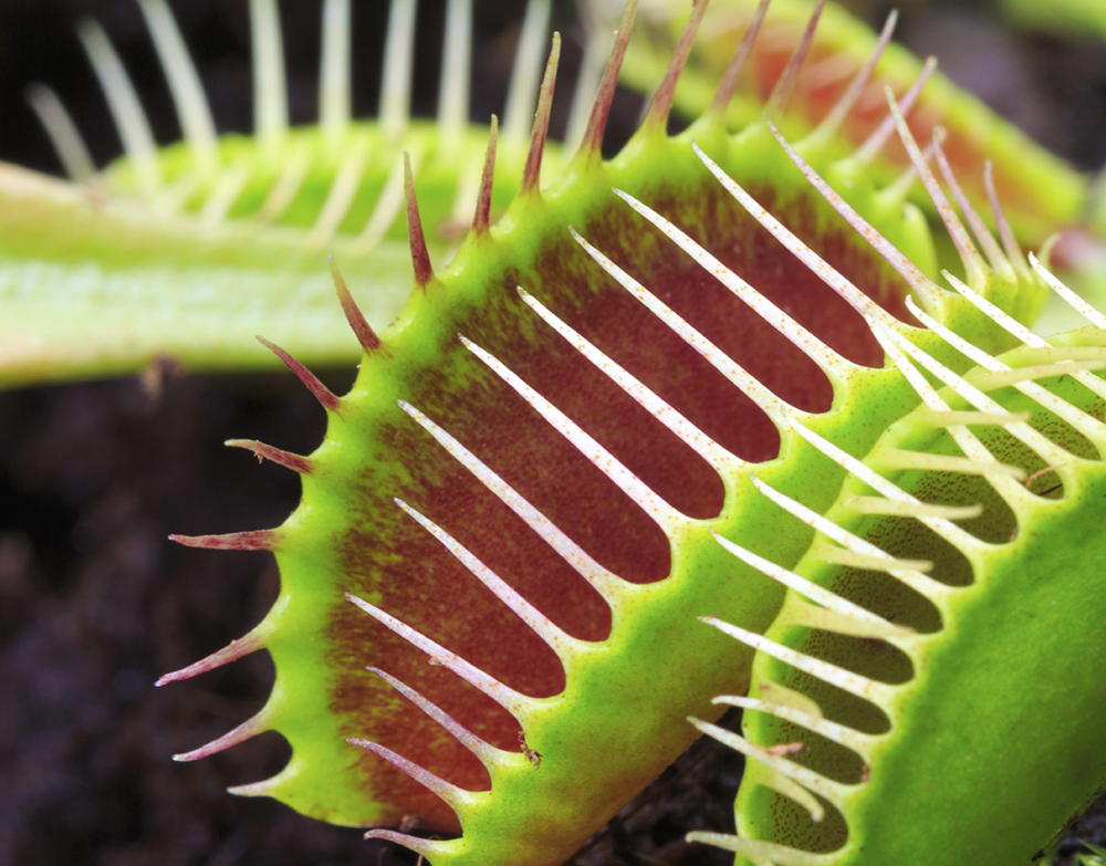 venus planta carnívora