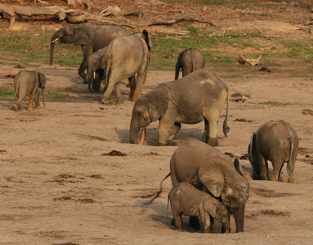 elefantes extrayendo sales