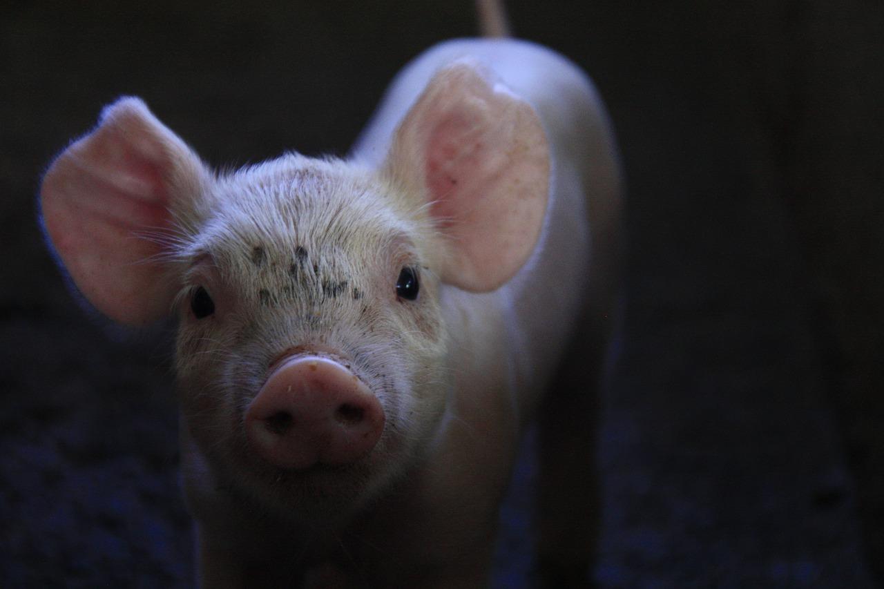 cerdo rosado en oculto en la noche