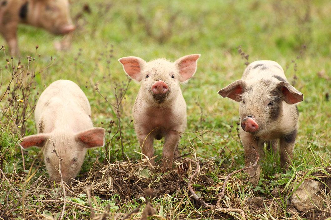 tres cerdos en primer plano escarbando en el césped