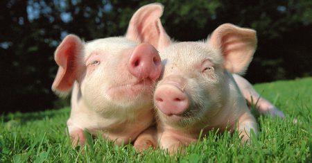 dos cerdos felices tumbados en el césped verde