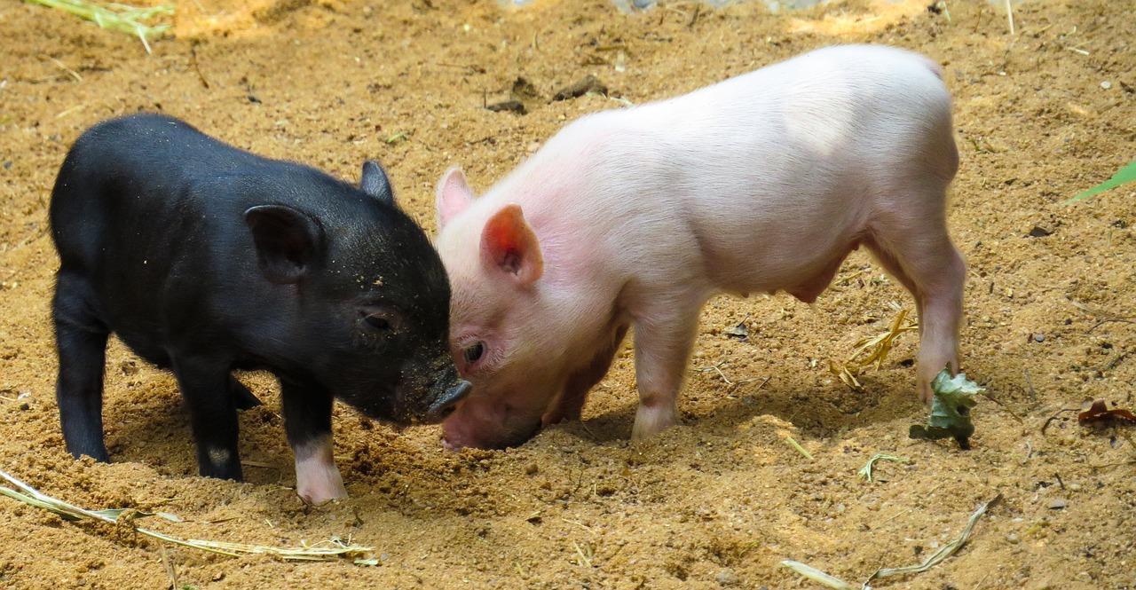 un cerdo negro jugando en la tierra con un cerdo rosado