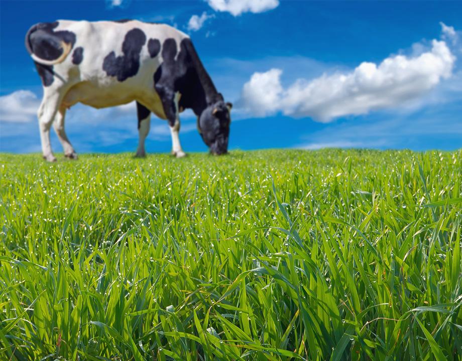 el estomago de las vacas enegia fabrica