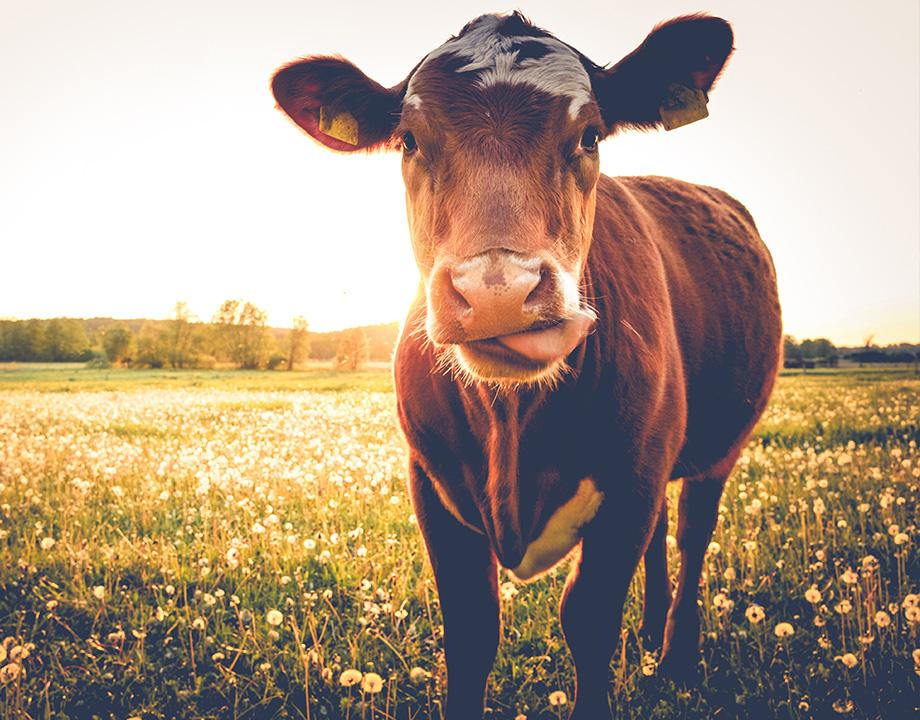 el estomago de las vacas enegia
