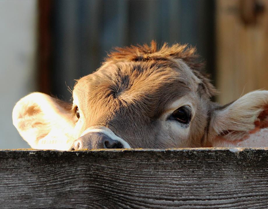 estomago vacas produce energia