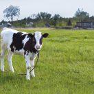 el reino de las vacas