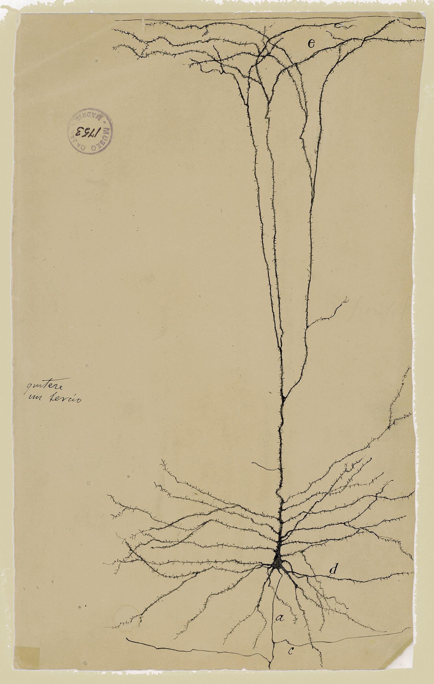ilustraciones de ramon y cajal m1753