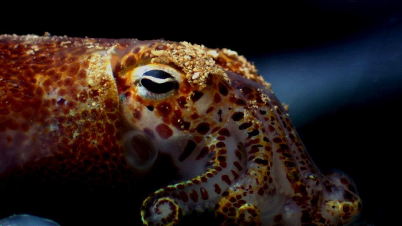 calamar-hawaiano-brilla