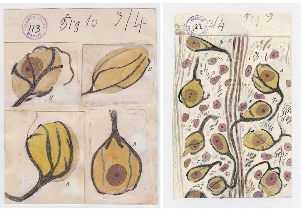 ilustraciones de ramon y cajal m113