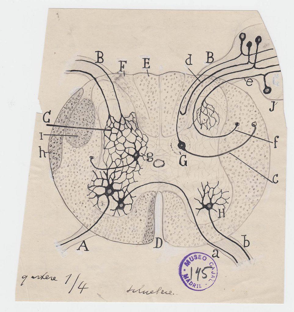 ilustraciones de ramon y cajal m145
