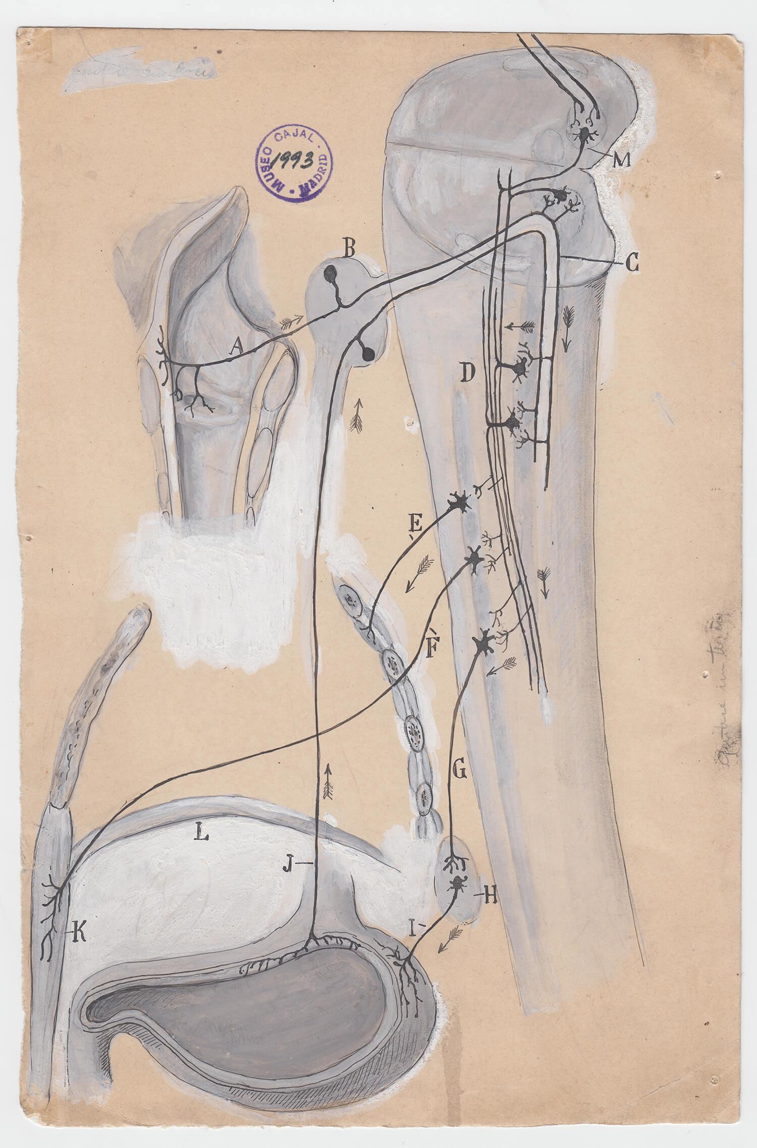 ilustraciones de ramon y cajal m1993