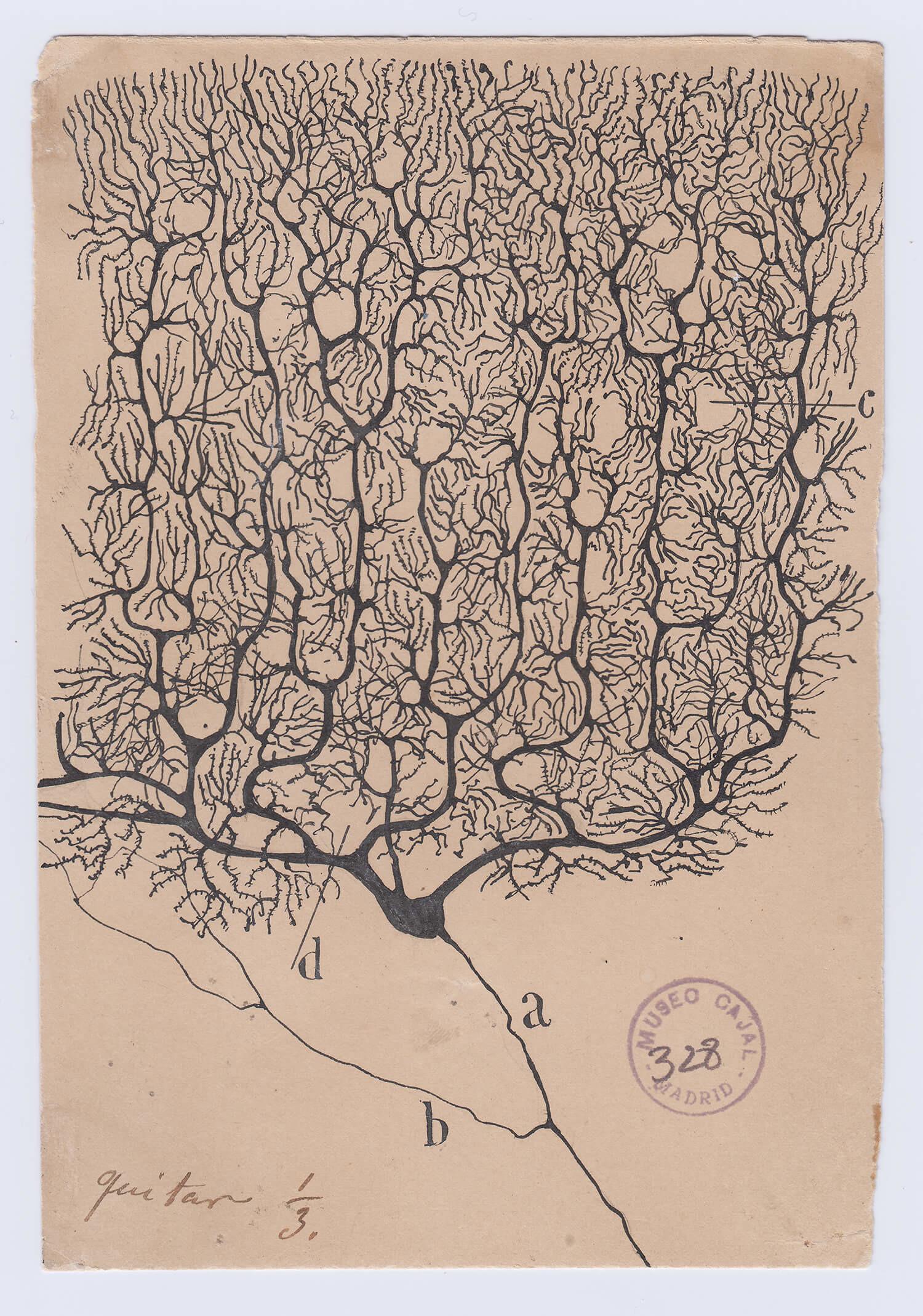 ilustraciones de ramon y cajal super cerebelo