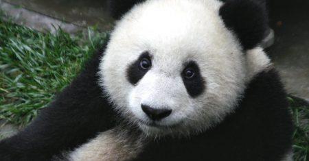 Los pandas pierden sus ojeras negras