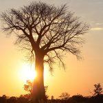 los baobabs desaparecen