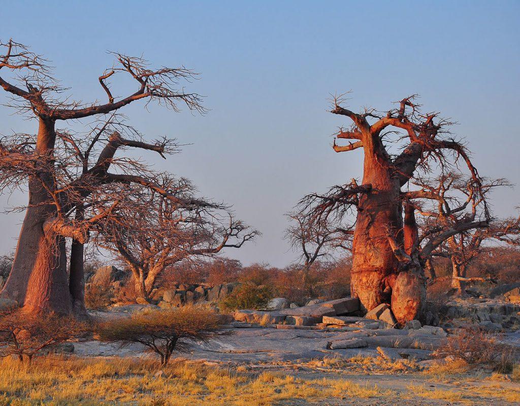 los baobabs desaparecen de africa