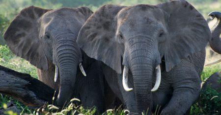 Salvar a los elefantes