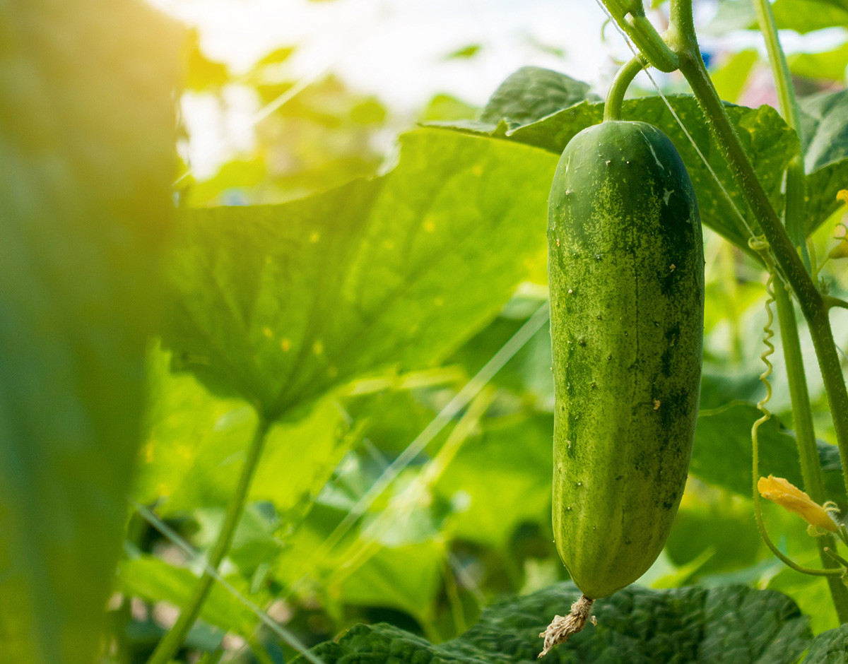 El cultivo inteligente de pepinos podría aumentar su producción
