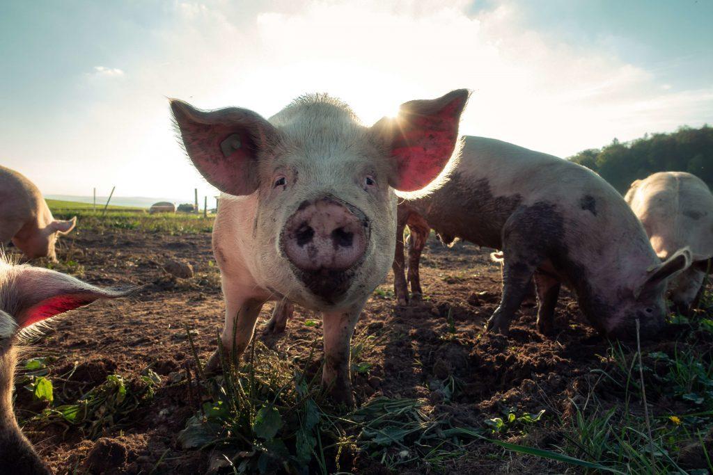 Las granjas de cucarachas sirven también para fabricar pienso con el que alimentar otros animales.