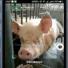 Reconocimiento facial cerdos