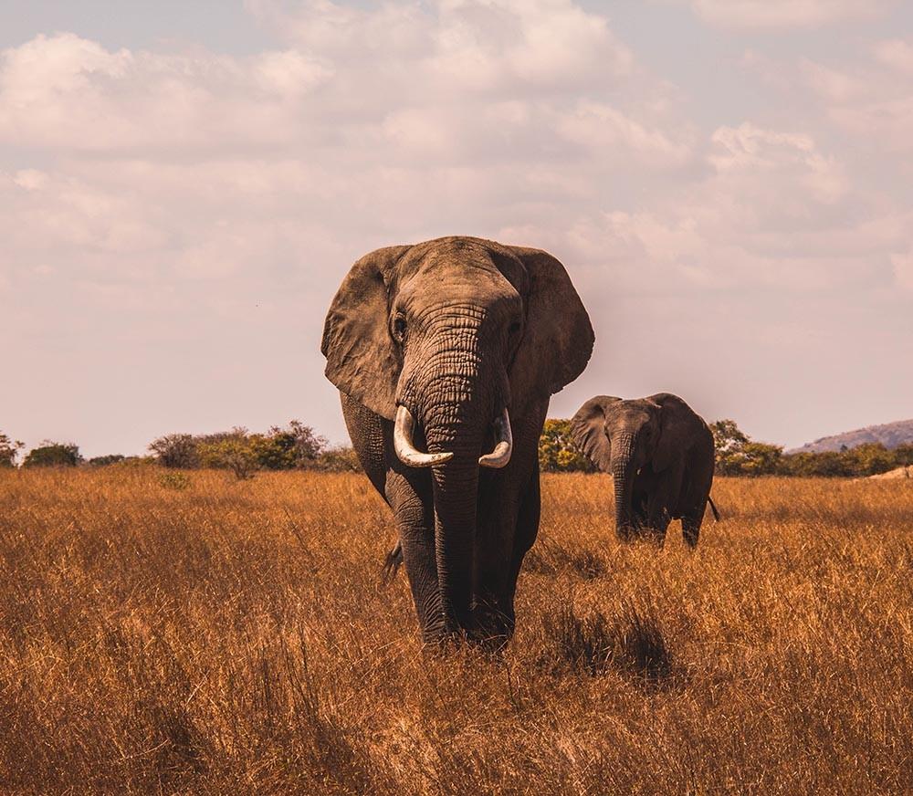 Un estudio investiga por qué es tan bajo el nivel de cáncer en los elefantes.