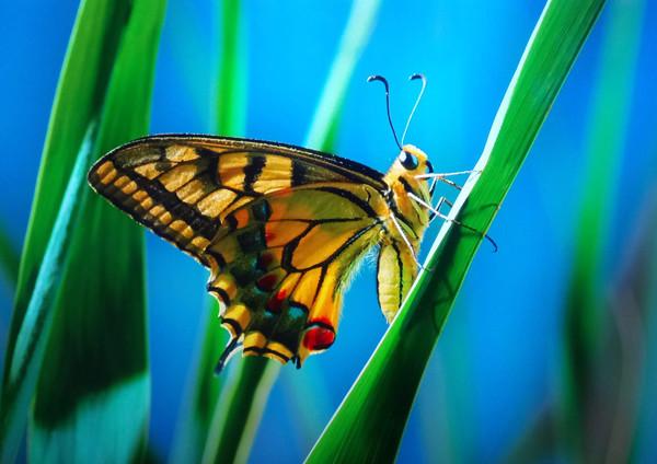 mariposa insecto