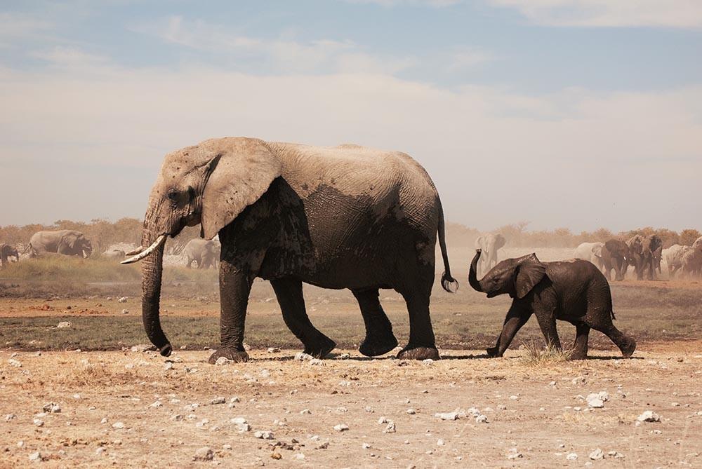 Un gen zombie podría estar detrás del motivo por el que el tan raro el cáncer en los elefantes.