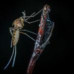 Analizamos los riesgos de los mosquitos, que transmiten enfermedades como el dengue o la malaria.