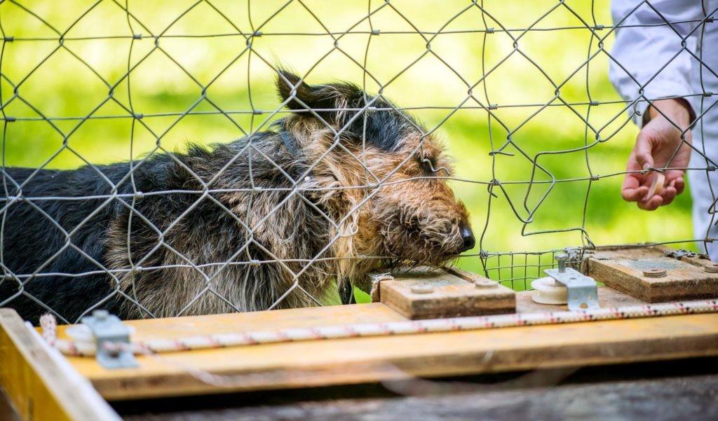 domesticación de los perros experimento en viena
