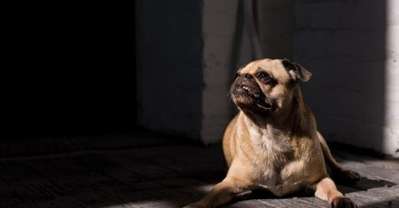 domesticación de los perros