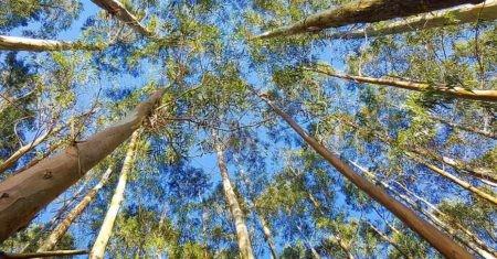 Investigadores han analizado una forma para extraer grafeno ecológico, a través de savia de eucaliptos.