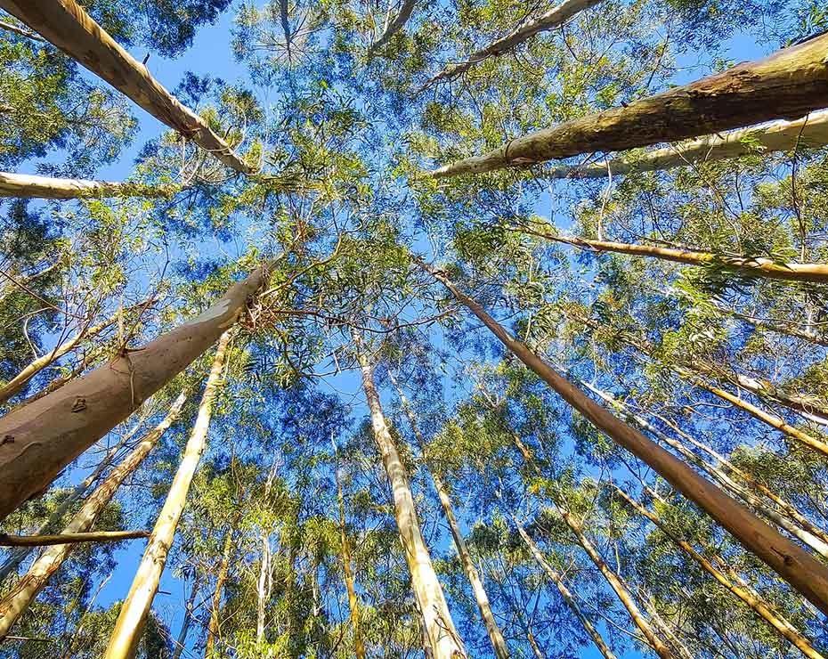 Investigadores han analizado una forma para extraer grafeno con eucaliptos.