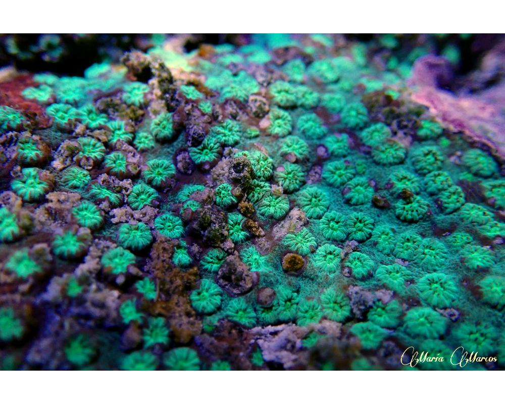 coral de Malasia