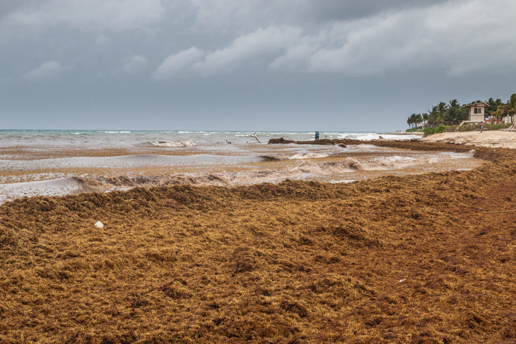 playa cubierta de sargazo