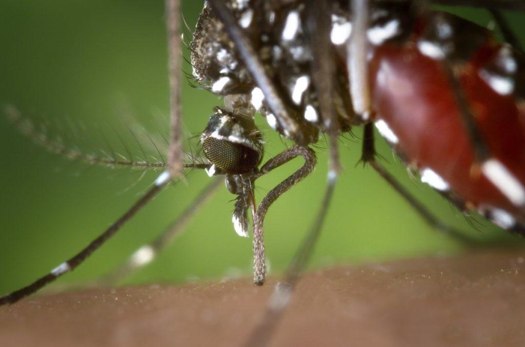 primer plano de un mosquito tigre picando