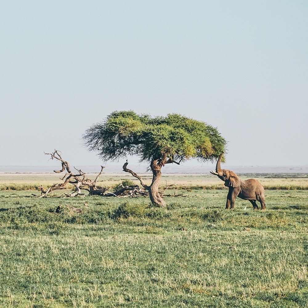 un elefante alimentándose en la sabana