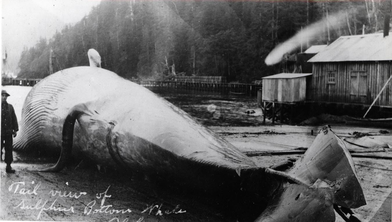 Históricamente, se tomaban ejemplares muertos para calcular el peso de las ballenas.