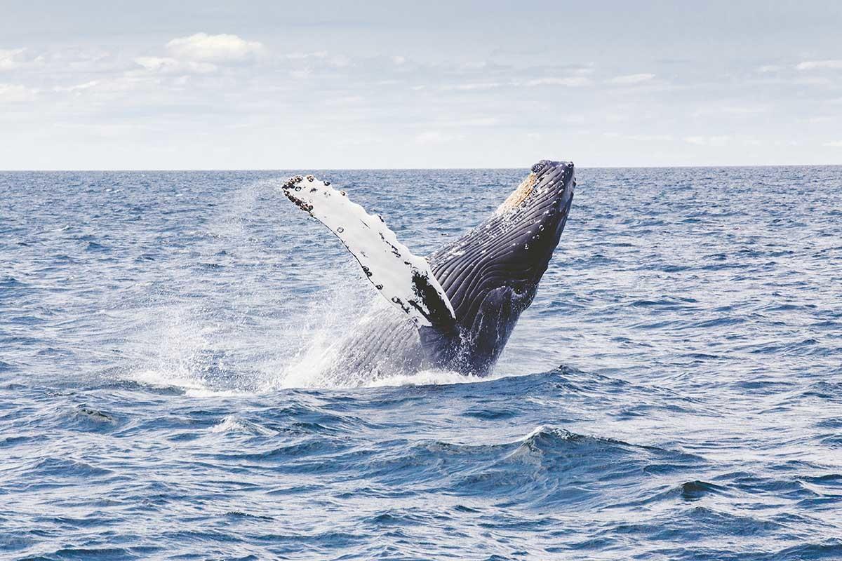 La fotogrametría ofrece nuevas soluciones para calcular el peso de las ballenas.