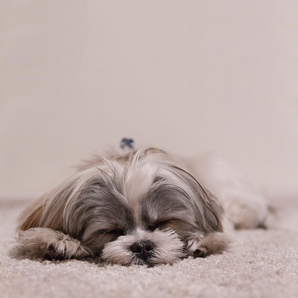 perro de avanzada edad