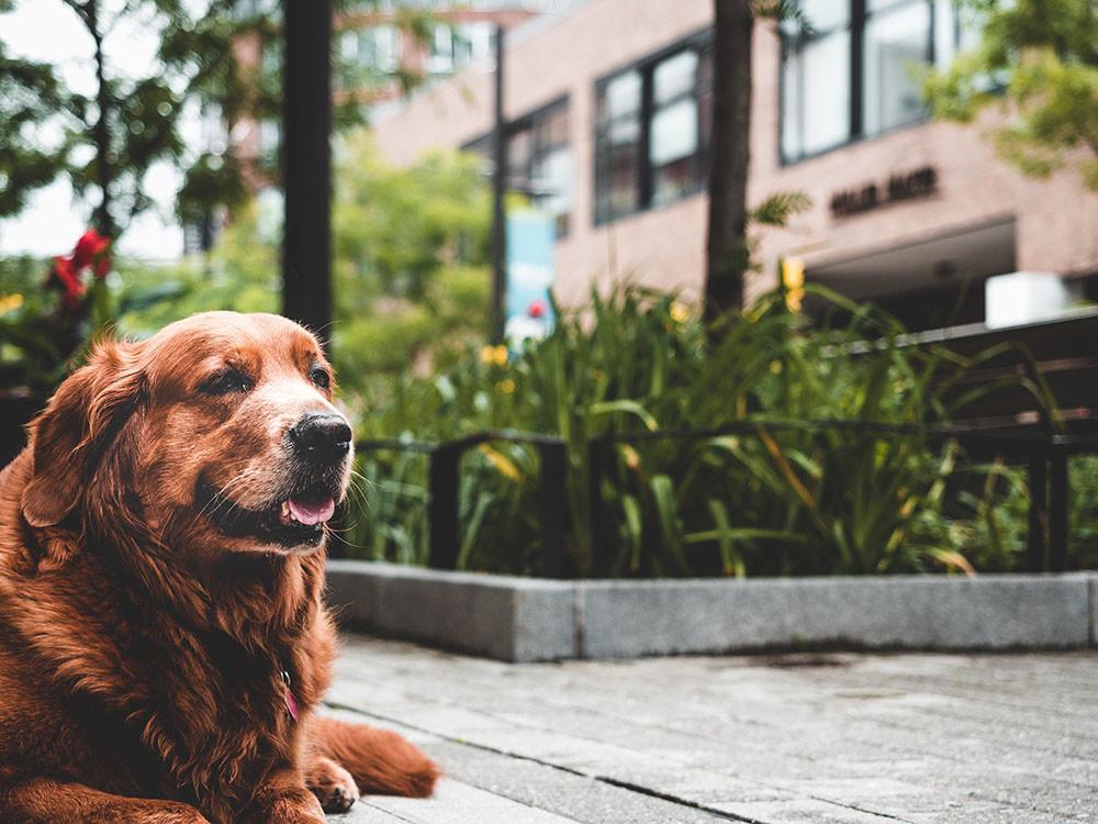 un canis lupus descansando