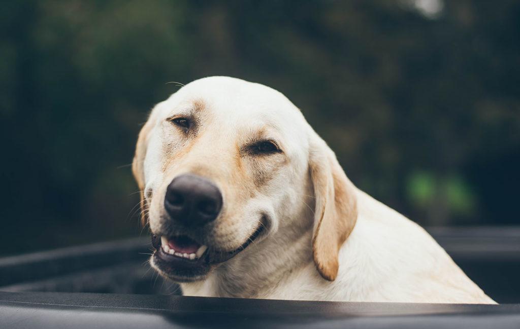 logaritmo de la edad de un perro labrador