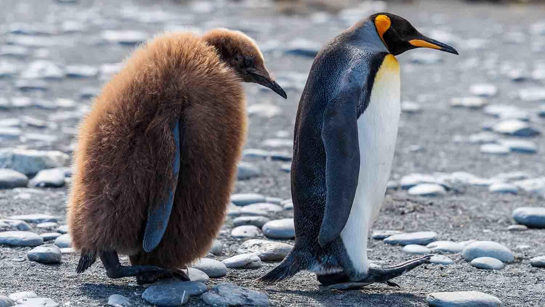 Un pingüino con su cría, que todavía conserva el plumaje..